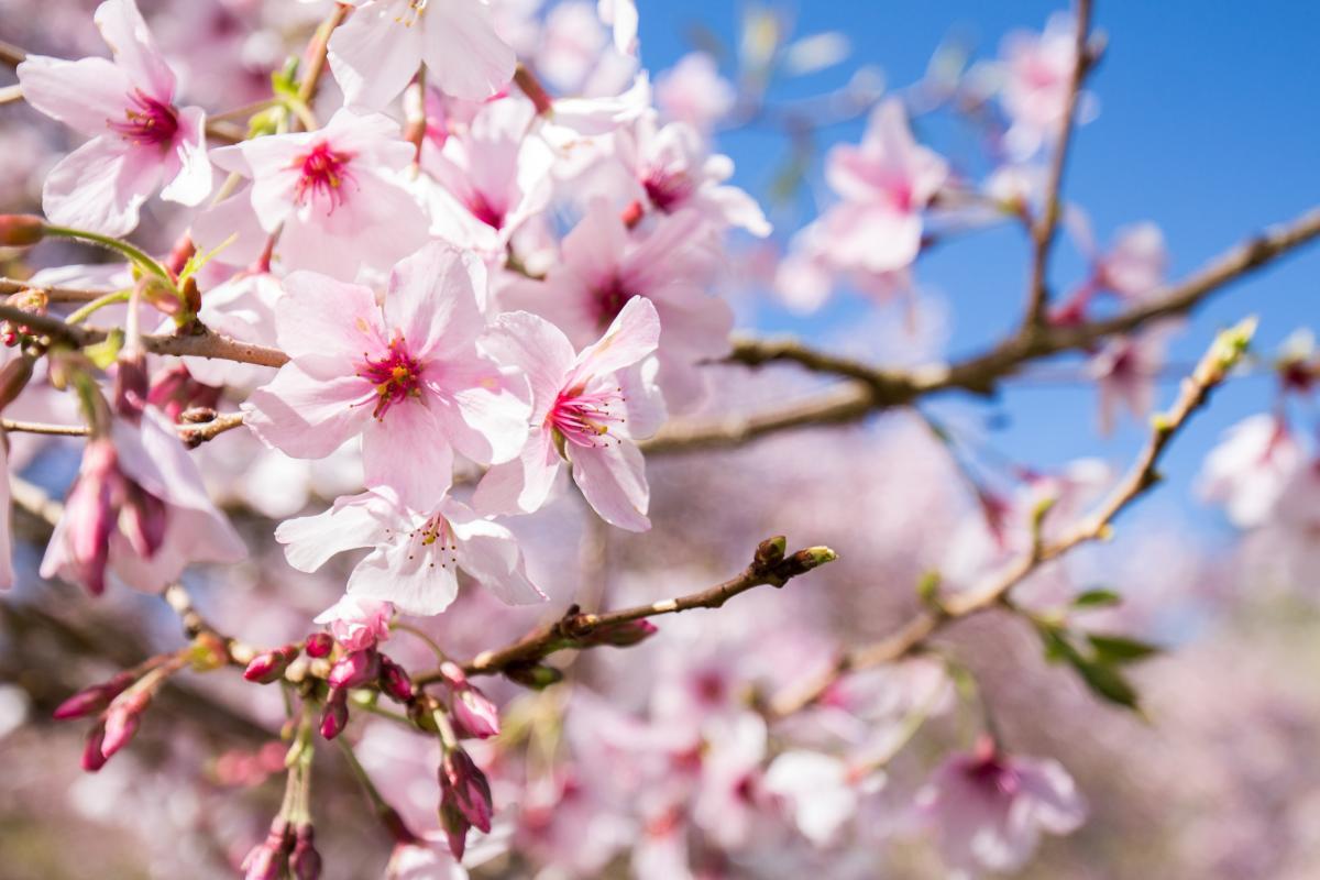 Aucklands Cherry Blossoms Pinaykiwimom